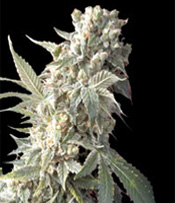 AK 47 Marijuana Seeds