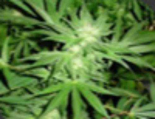 White Rhino Marijuana Seeds — Strain Reviews — Nirvana Seeds