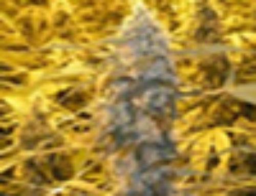 Wonder Woman Marijuana Seeds — Strain Reviews — Nirvana Seeds