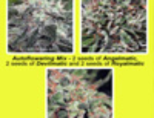 Auto-Flowering Mix Marijuana Seeds — Strain Reviews — Ministry of Cannabis