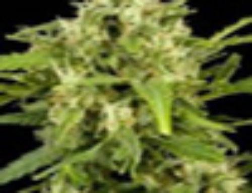Amarant Automatic Marijuana Seeds – Strain Reviews – Amaranta Seeds