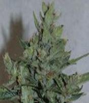 Amaranta Seeds-Amarant dwarf