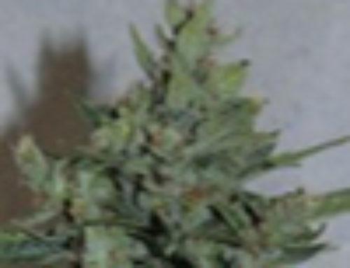 Amarant Dwarf Marijuana Seeds – Strain Reviews – Amaranta Seeds