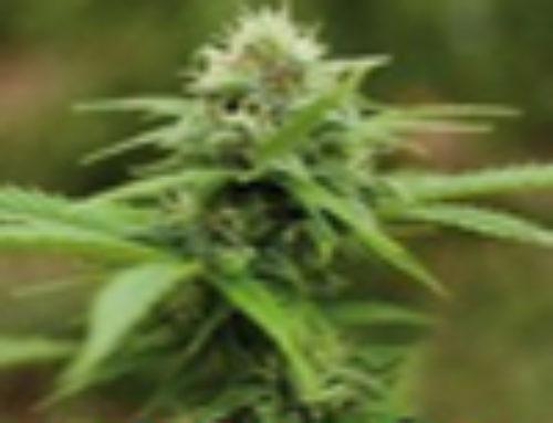 Amarant Moby Marijuana Seeds – Strain Reviews – Amaranta Seeds