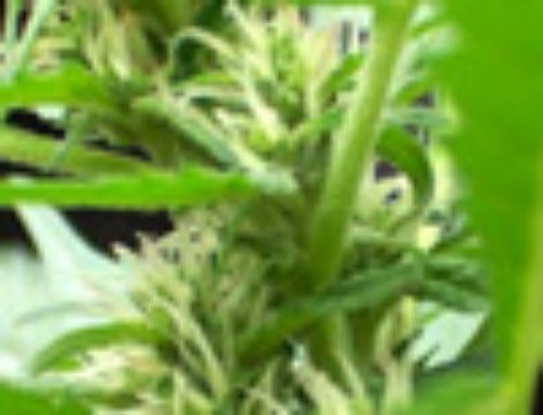Auto Power Marijuana Seeds— Strain Reviews — Biohazard Seeds