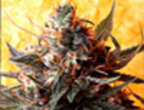 Double Kush Marijuana Seeds — Strain Reviews — Delta 9 Labs Seeds