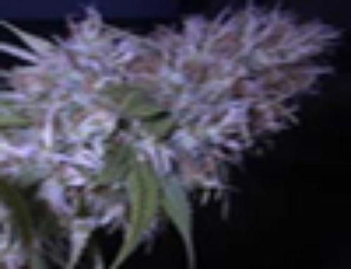 Early-Pearl Marijuana Seeds – Strain Reviews – AB Seeds