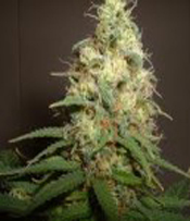 Amaranta Seeds-Easy Bud