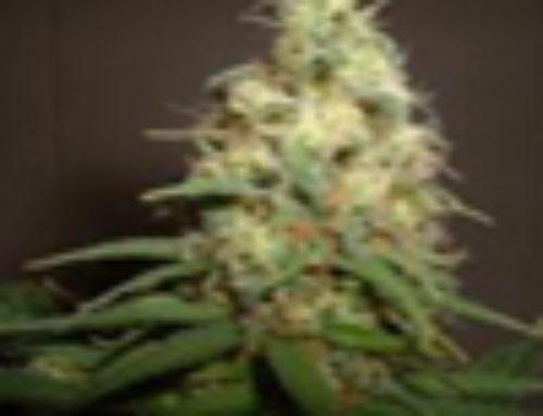 Easy Bud Marijuana Seeds – Strain Reviews – Amaranta Seeds