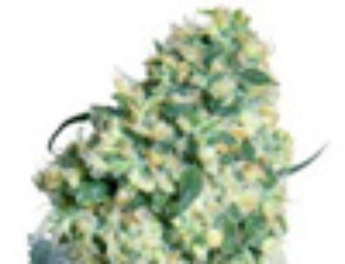 Ed Rosenthal Super Bud Marijuana Seeds – Strain Reviews – Sensi Seeds