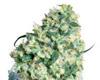 super bud strain