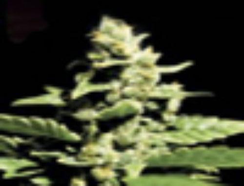 Green-O-Matic Marijuana Seeds – Strain Reviews – Green House Seeds