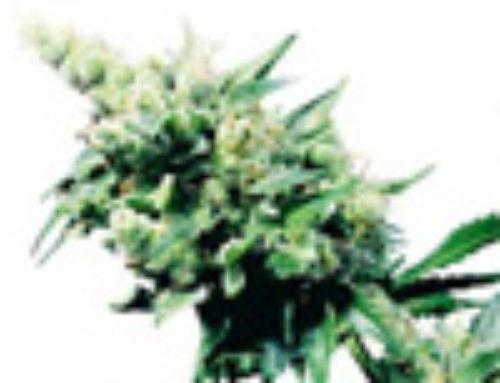 Hash Plant Marijuana Seeds — Strain Reviews — Sensi Seeds