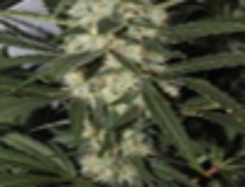 Northern Light Marijuana Seeds – Strain Reviews – Amaranta Seeds