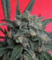 A-Train Marijuana Seeds