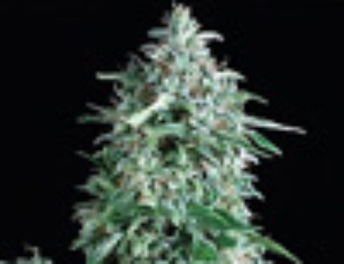 Anubis Marijuana Seeds — Strain Reviews — Pyramid Seeds