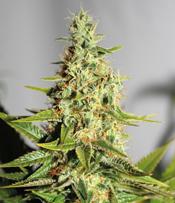 Acapulco Gold Marijuana Seeds