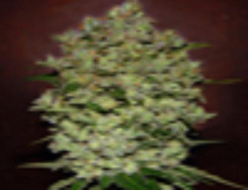 Bio Diesel Mass Marijuana Seeds – Strain Reviews – Advanced Seeds