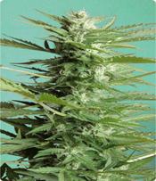 Sweet Dwarf Marijuana Seeds