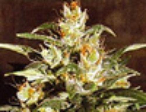 Ak47 x Auto Hindu Kush Automatic Marijuana Seeds – Strain Reviews — LowLife Seeds