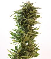 Amnesia Lemon Marijuana Seeds