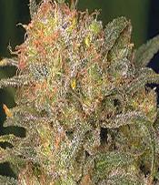 Bubble Gum Marijuana Seeds