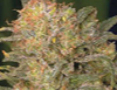 Bubble Gum Marijuana Seeds – Strain Reviews – Serious Seeds