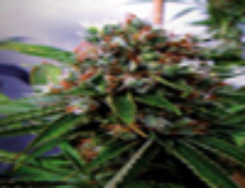 Buddha's Sister Marijuana Seeds – Strain Reviews – Soma Seeds