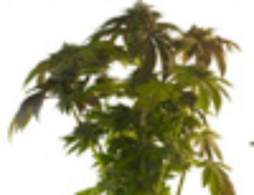 Cate Harrington Marijuana Seeds — Strain Reviews — Porno Seeds