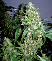 Critical Rapido Marijuana Seeds