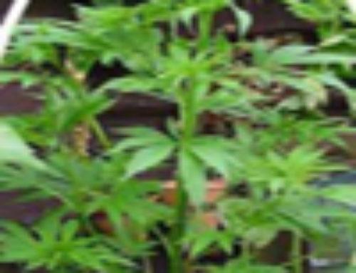 Dr. Hemp #1 Marijuana Seeds – Strain Reviews – Dr. Hemps Seeds