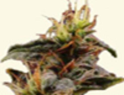 New York City Diesel Marijuana Seeds – Strain Reviews – Dr. Hemps Seeds