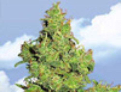 Edelweiss Marijuana Seeds — Strain Reviews — Flying Dutchmen