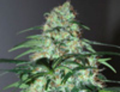 Five-o Marijuana Seeds – Strain Reviews — Black Skull Seeds