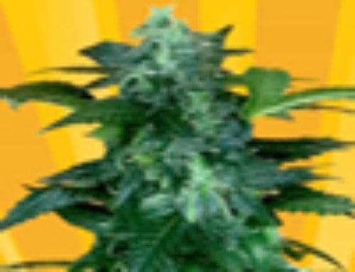 Pixie Punch Marijuana Seeds – Strain Reviews – Freedom of Seeds
