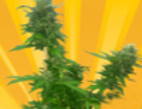 Guerrilla Ryder Marijuana Seeds – Strain Reviews – Freedom of Seeds