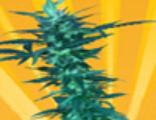 Short Nepali Marijuana Seeds – Strain Reviews – Freedom of Seeds