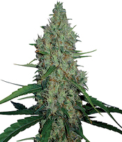 G13 Haze Marijuana Seeds