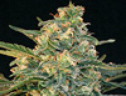 Guanabana Marijuana Seeds – Strain Reviews — Blim Burn Seeds