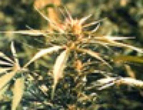Hawaii Maui Waui Marijuana Seeds – Strain Reviews — Sativa Seedbank