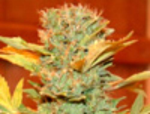 Hindu Kush Marijuana Seeds – Strain Reviews — LowLife Seeds