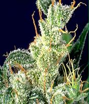 Kali Mist Marijuana Seeds