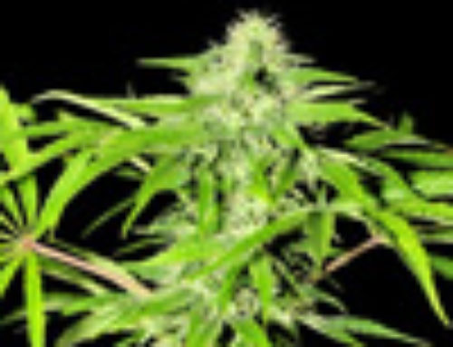 Karina Marijuana Seeds — Strain Reviews — Porno Seeds