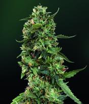 LSD Marijuana Seeds