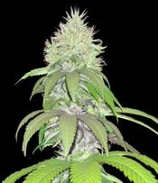 Lambsbread Marijuana Seeds