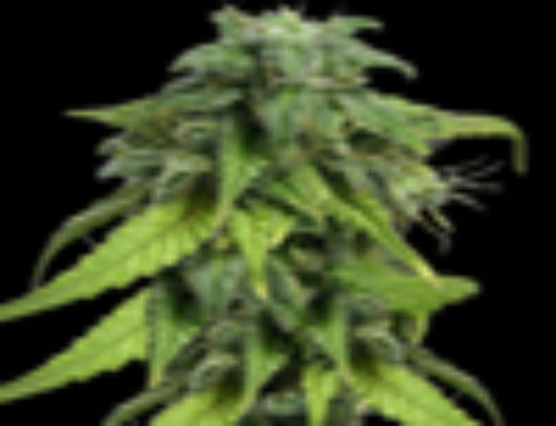 Likle Ryda Marijuana Seeds — Strain Reviews — Yardie Seeds