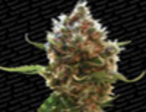 Lucid Bolt Marijuana Seeds — Strain Reviews — Paradise Seeds