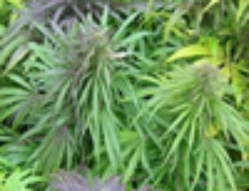 Madame Poison Marijuana Seeds – Strain Reviews — Canadian Bred Seeds