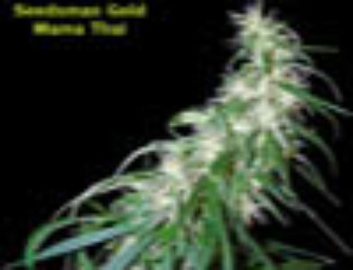 Mama Thai Marijuana Seeds – Strain Reviews – Seedsman Seeds