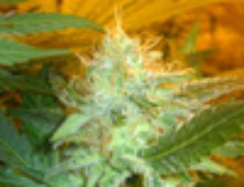 Mamba Negra Marijuana Seeds – Strain Reviews — Blim Burn Seeds